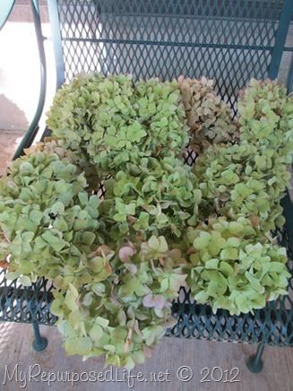 drying hydrangeas (5)