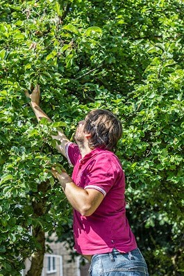 Rasmus plukker æbler  - Brødrene Bækgaard laver æblemost - Mikkel Bækgaards Madblog