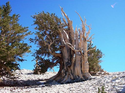 bristlecone-pines-9