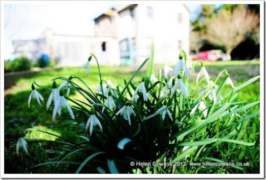 Snowdrops1