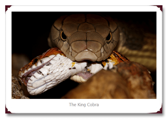King Cobra eat Snake