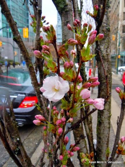 天河櫻 Amanogawa, 惟一花朵向上長的櫻花, 有甜甜淡淡的杏仁香味.