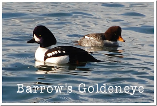 Barrow's Goldeneye