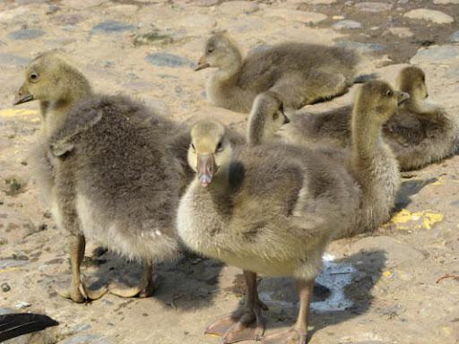 Goose children