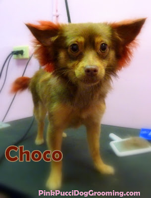 Choco the long hair Chihuahua with red ears and tail coloring