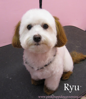 Ryu The Maltese with Hair Dye on the Ears,Tail and Sox – Pink Pucci