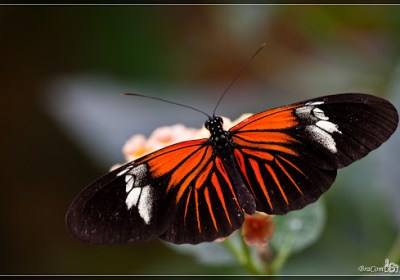 Red Passion Flower Butterfly (Heliconius erato)