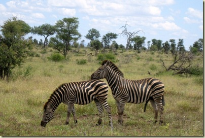Zebra Kruger National Park Mpumalanga South Africa