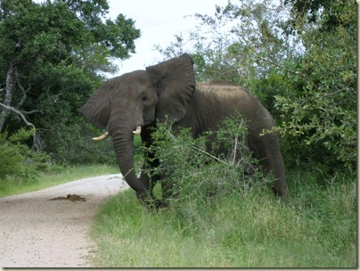 Elephant shaking head in threat display Kruger National Park Mpumalanga South Africa