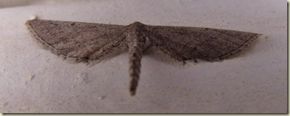 09 Maybe Eupithecia sp moth little house Yarnell AZ (1024x404)