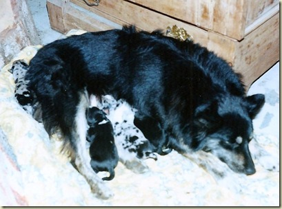 05 Motsy and 1 day old puppies Eagles Cliff  WA Sept 1998 (919x683)