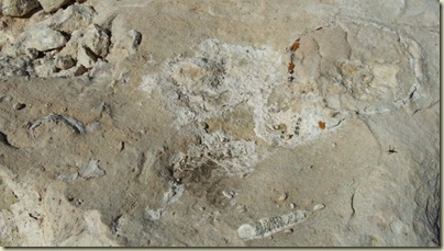 Fossils in limestone at Marble View Forest Road 219 Kaibab National Forest Arizona