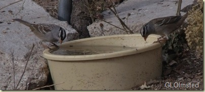 02 White-crowned sparrows on water bowl Yarnell AZ (1024x458)