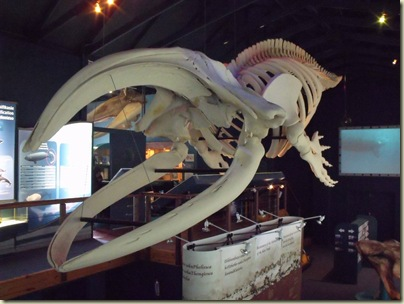Right Whale skeleton Whale Museum Hermanus Western Cape South Africa