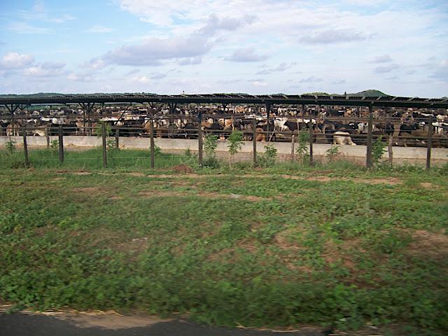 Muuuuuchas vacas