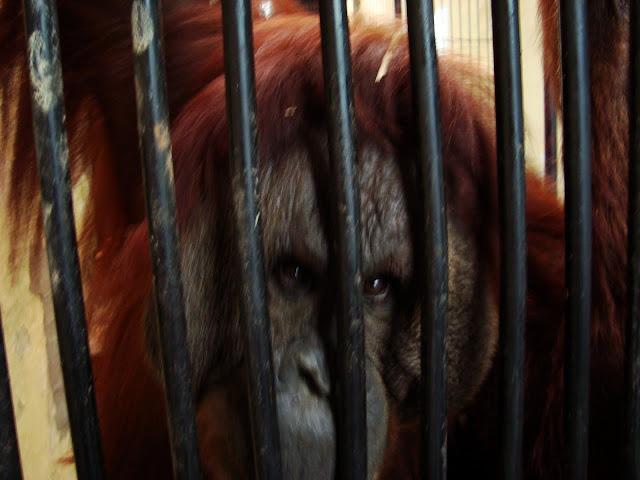 Oko w oko z orangutanem!