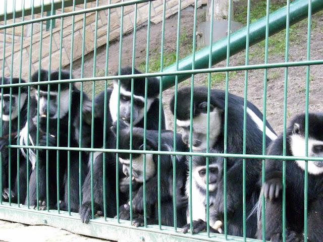 Gerezy abisyńskie - Zoo Oliwa