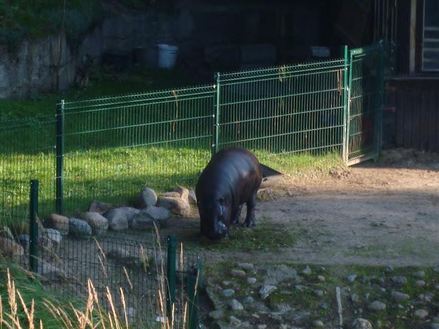 Hipopotam karłowaty na wybiegu
