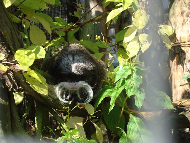 Tamaryna cesarska - Zoo Oliwa