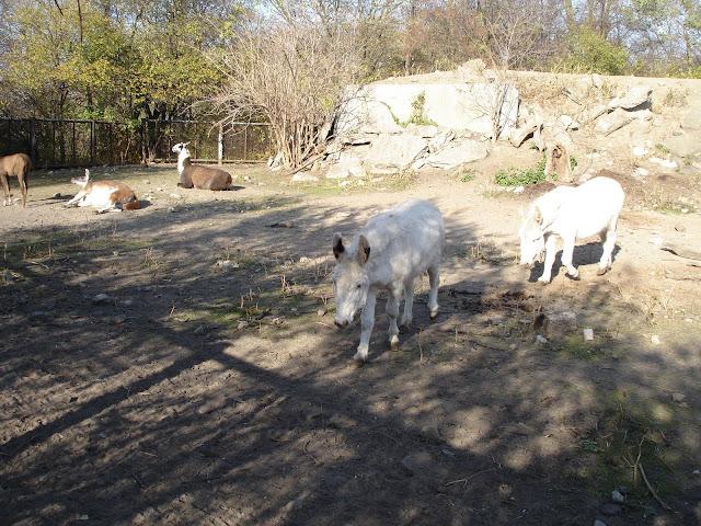 Osły i lamy