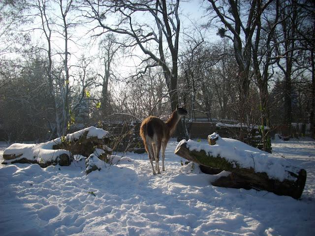 Gwanako na śniegu - Zoo Wrocław