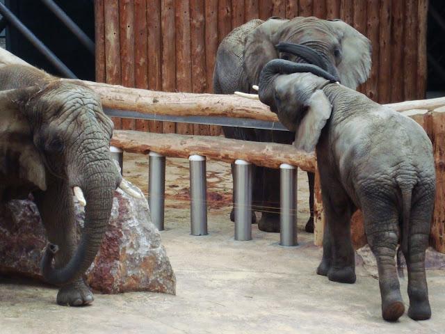 Wejście słonia!