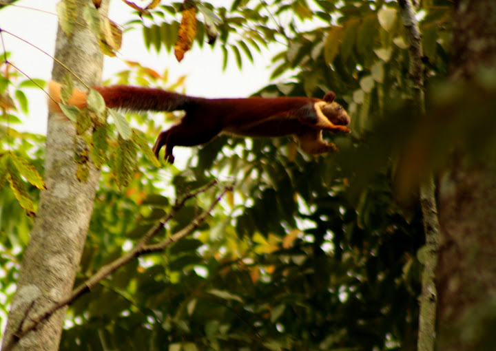 Giant Malabar Squirrel in Action