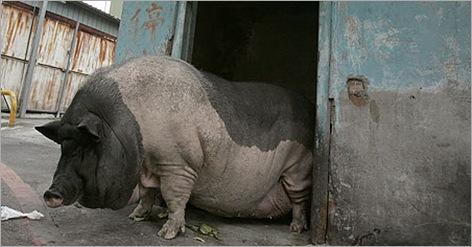 Fat_animals11