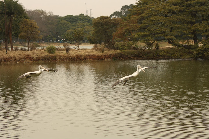 Lalbagh Lake View with Flying Pelicans