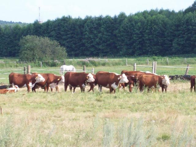 Hereford Rinder Herde