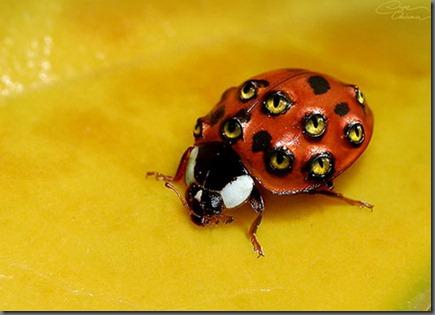 lady eye bug