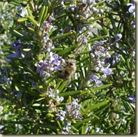 bee on rosemary_1_1