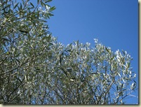 olive leaves_1_1