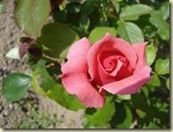 rose - pink_1_1