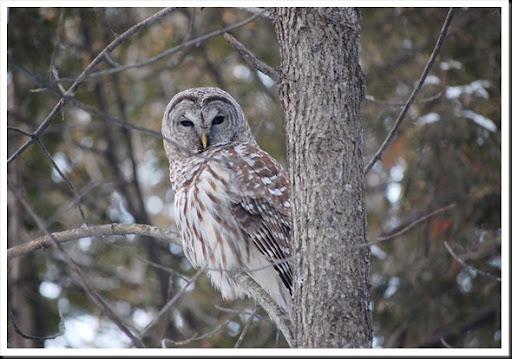 barred owl2