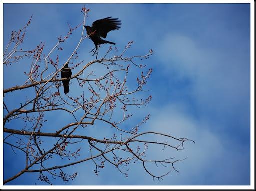 crow takeoff