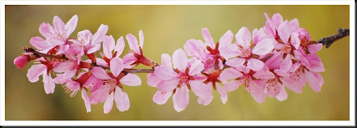 pink blossom yellow forsythia