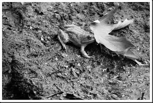 frog behind a leaf