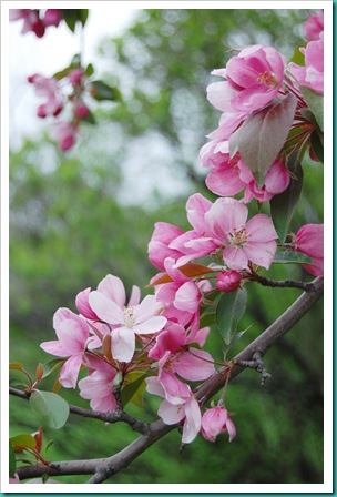 Apple Blossom  Hanging Branch 2