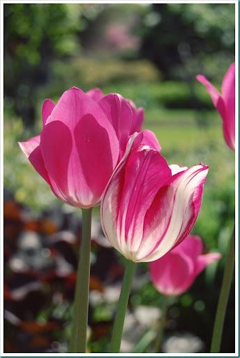 Tulips in Love