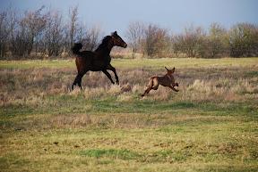 Mandie 1yr chasing horse.JPG