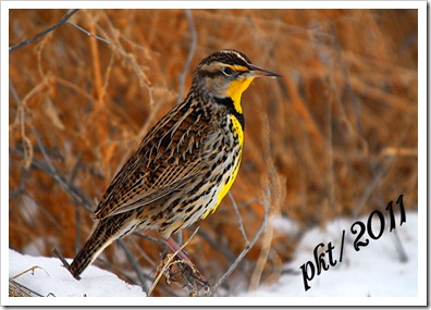 DSC_0253yellow-meadowlark