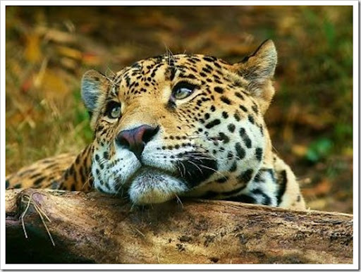 jaguar_pensando-1694