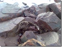 Dead Seal Skeleton on Carnoustie Beach
