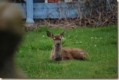 young deer in yard