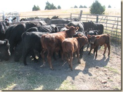 rounding up cows