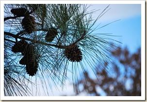 pinecones a