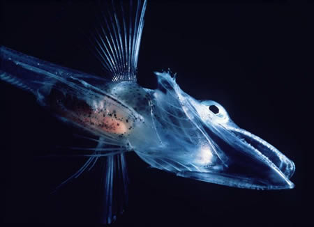 Transparent Icefish