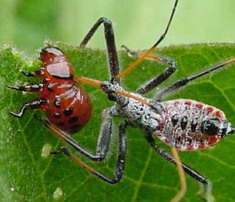 kumbang tomat Mekanisme Pertahanan Diri Hewan Yang Dahsyat