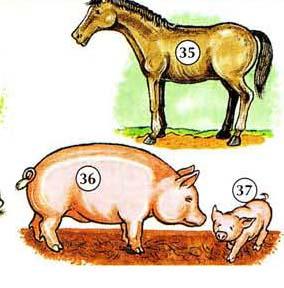 35. caballo 36. cerdo 37. Cochinillo